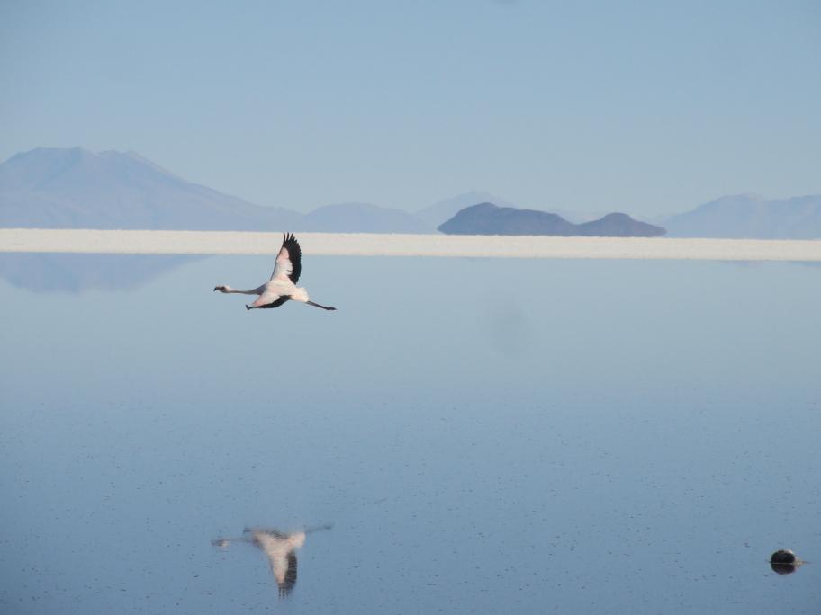 Bolivia Salt Flats Flamingo